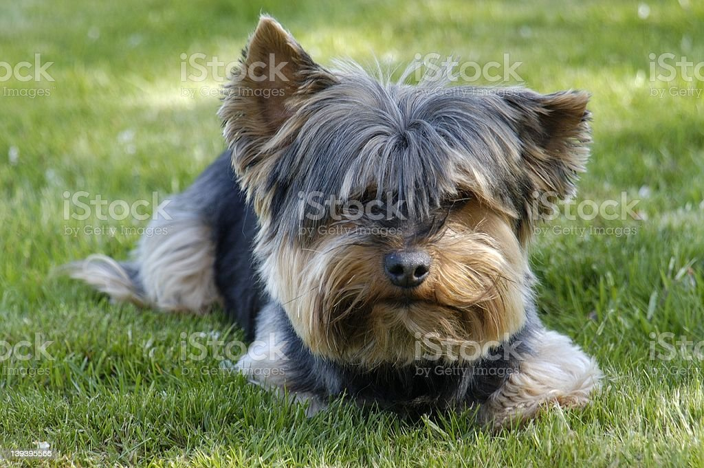 Dog on Lawn royalty-free stock photo