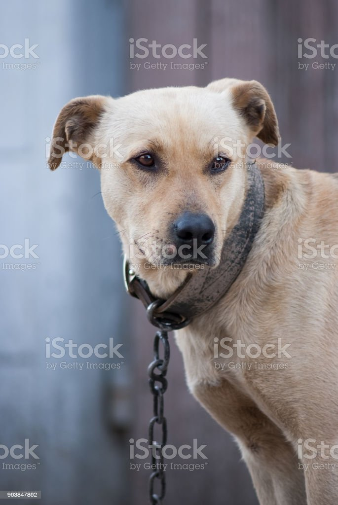 dog on leash look in camera on the yard - Royalty-free Activity Stock Photo