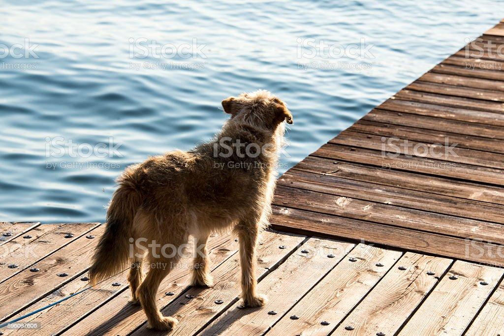 dog on pier royalty-free stock photo