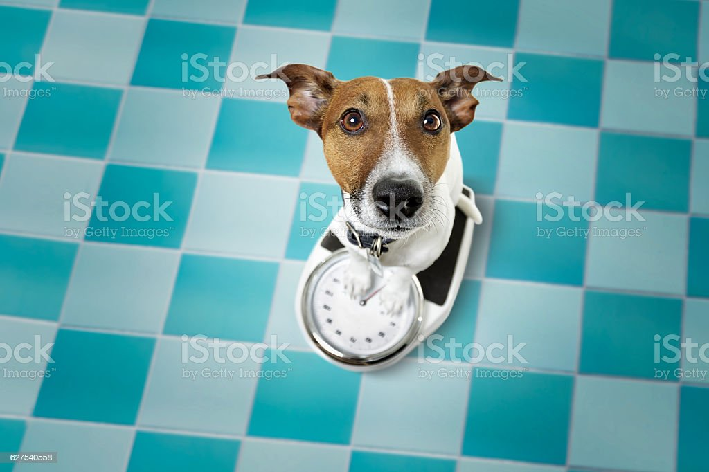 dog on scale  on a diet stock photo