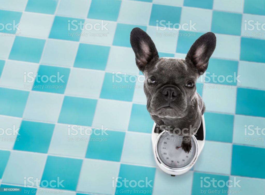 dog on scale , with overweight stock photo