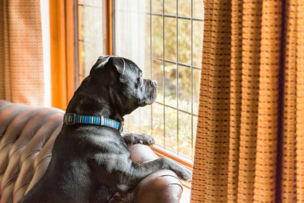 Dog on sofa looking out of window stock photo