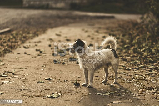 Stray wire-haired dog in a city park with dry autumn leaves in warm sunlight