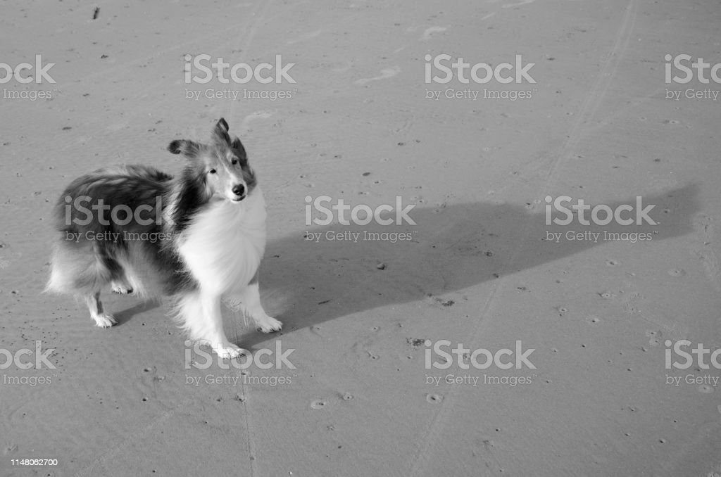 Dog on the beach, casting shadows in the late evening light captured...