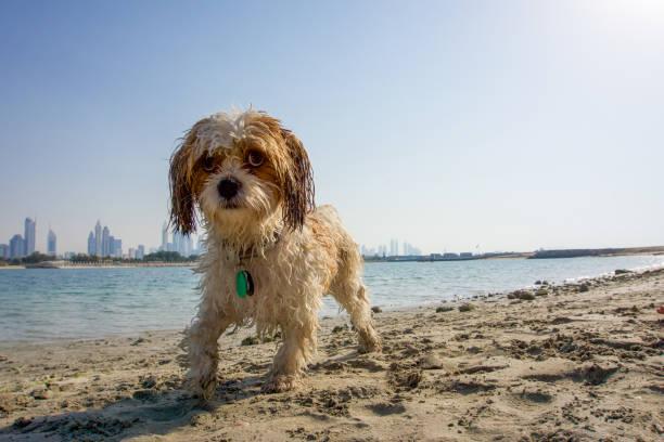 Hund am Strand in Dubai – Foto