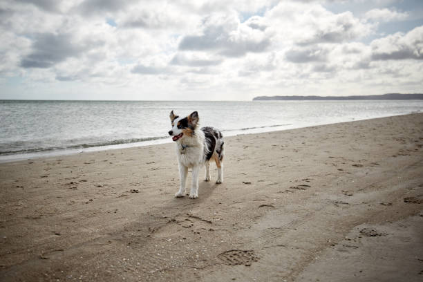 Dog on the beach My dog on the beach during a windy day. australian shepherd stock pictures, royalty-free photos & images