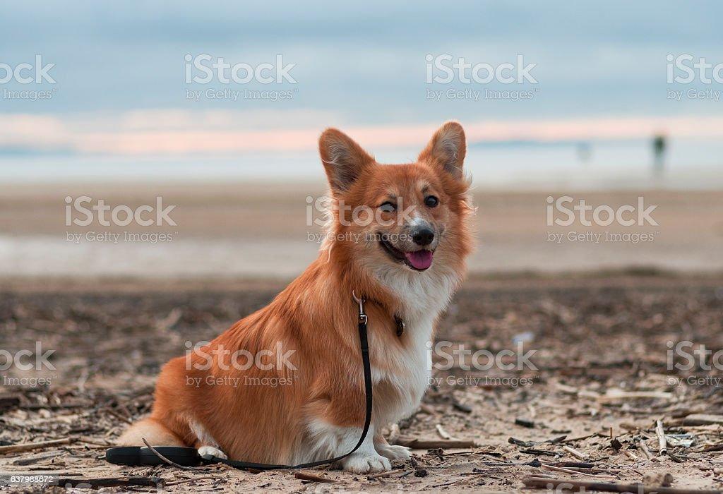 Dog on the beach (breed welsh pembroke corgi fluffy) smilling - foto de stock