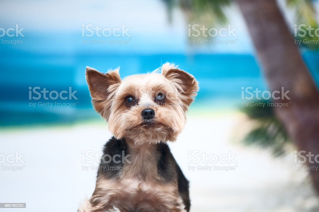 Dog on the beach, the concept of recreation, I want to go on vacation. Yorkshire Terrier at sea zbiór zdjęć royalty-free