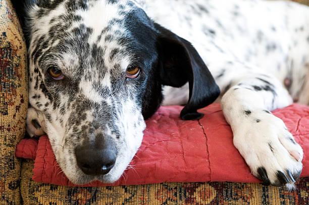 Hund auf der Couch – Foto
