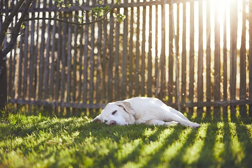 Dog on the garden at the sunset