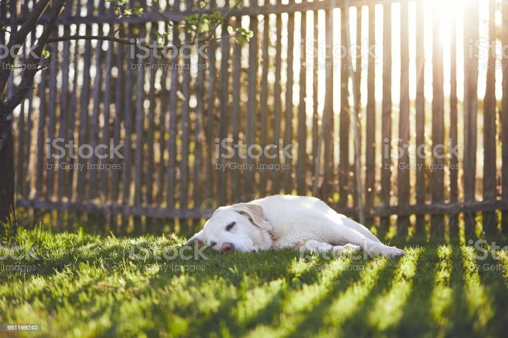 Dog on the garden at the sunset stock photo