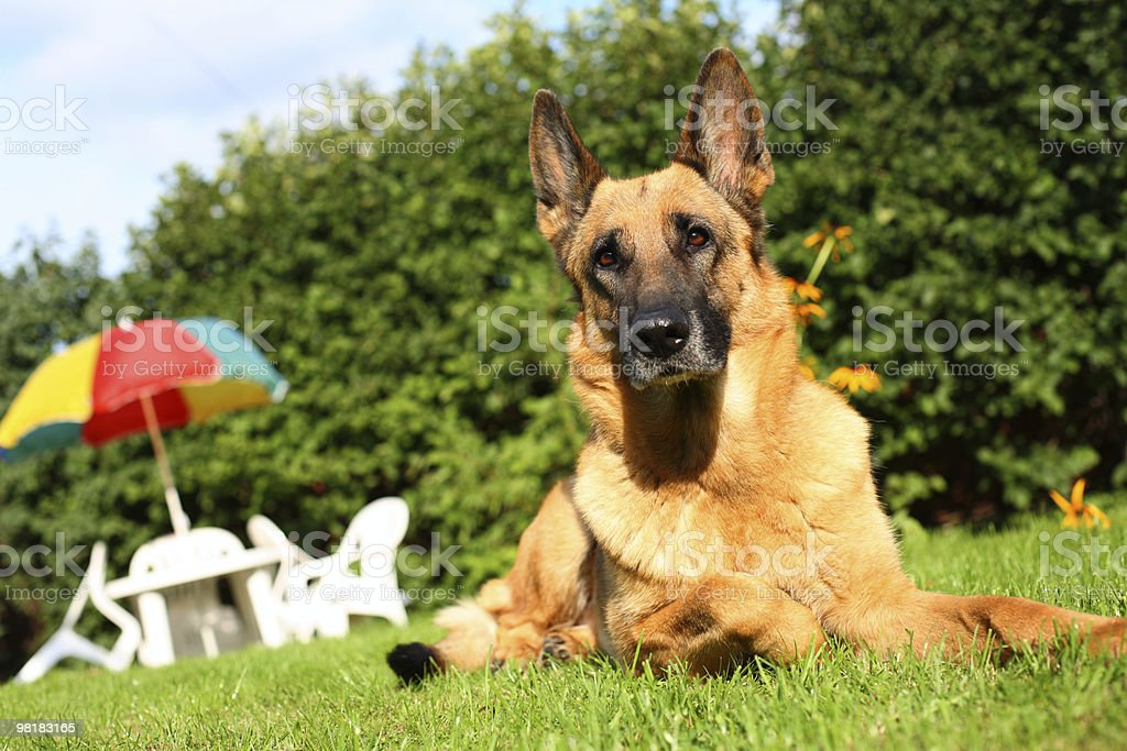 Dog on the grass royalty-free stock photo