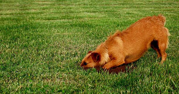 Dog on the Hunt stock photo