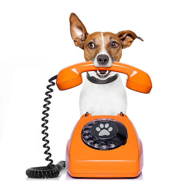 dog on the phone Jack russell dog with glasses as secretary or operator with red old  dial telephone or retro classic phone animal call stock pictures, royalty-free photos & images