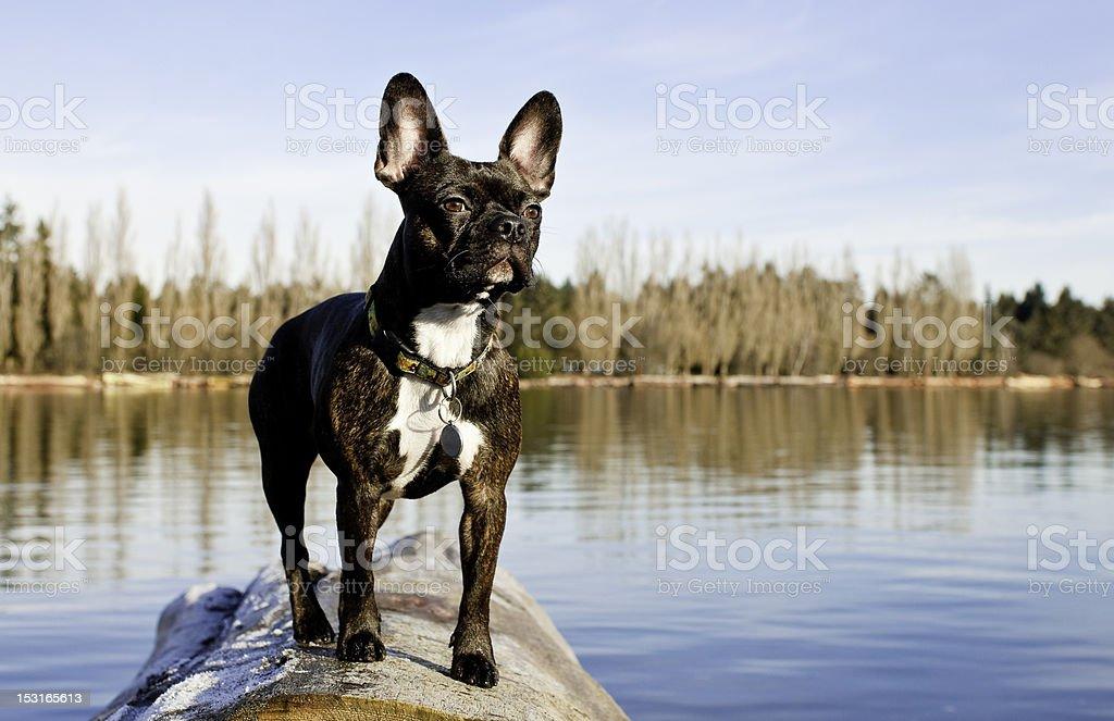 Perro en la orilla del río - foto de stock