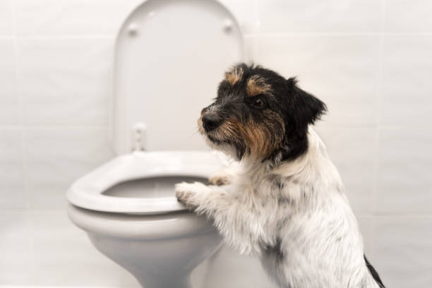 Dog on the toilet - Jack Russell Terrier Dog on the toilet - Jack Russell Terrier flushing toilet stock pictures, royalty-free photos & images