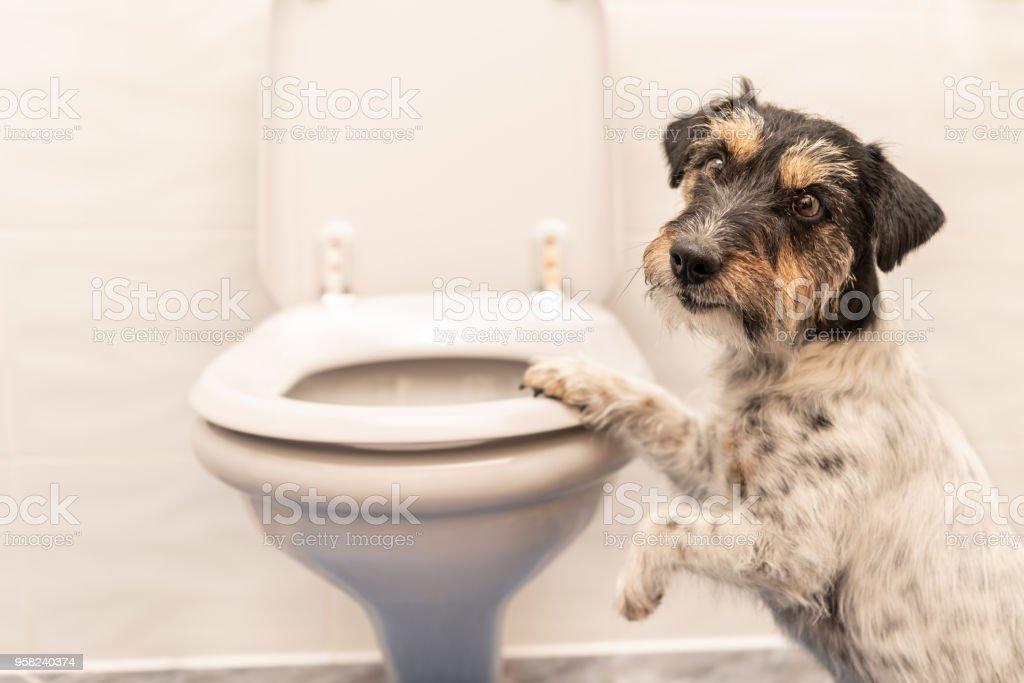 Hund auf der Toilette - Jack Russell Terrier – Foto