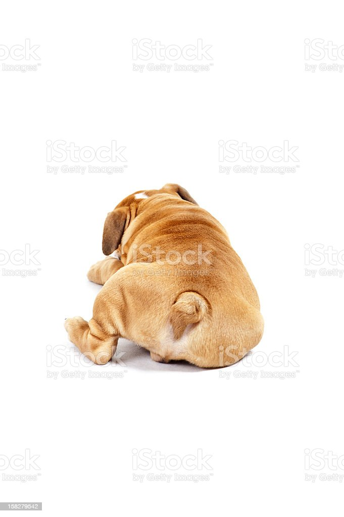 Dog on the wihte background with tail stock photo