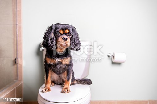 A cute dog sits on a toilet in a nice home.