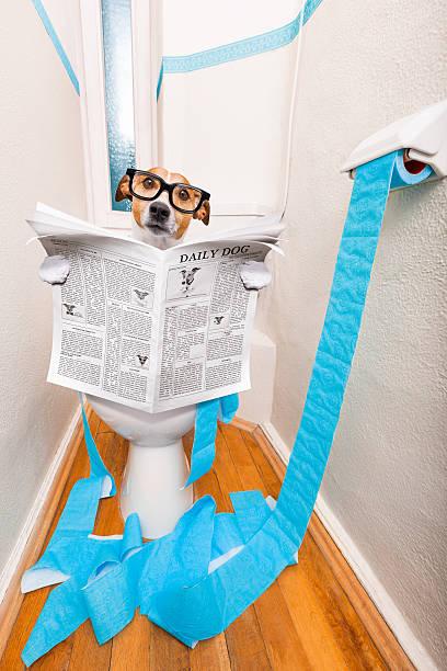 dog on toilet seat and newspaper - durchfall beim hund stock-fotos und bilder