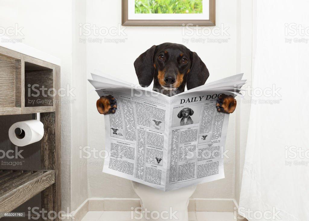 dog on toilet seat reading newspaper stock photo
