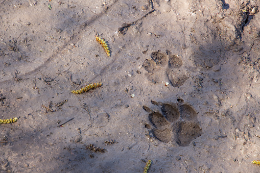 Dog or wolf track in the mud