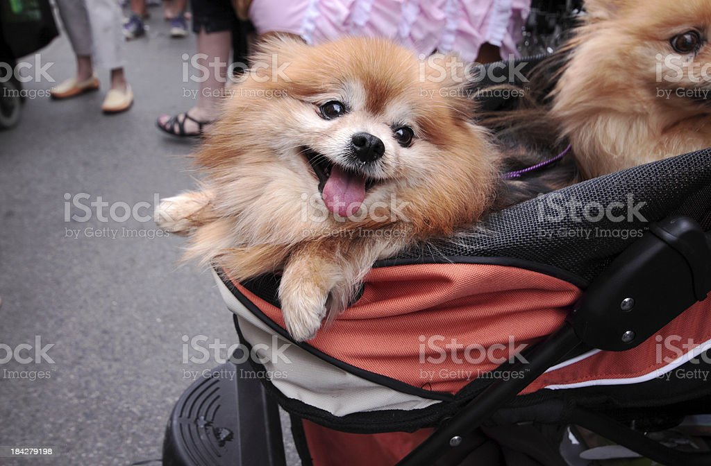 Dog Outing royalty-free stock photo