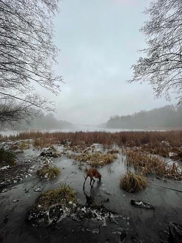 Vizsla dog sniffing on the frozen forest ground