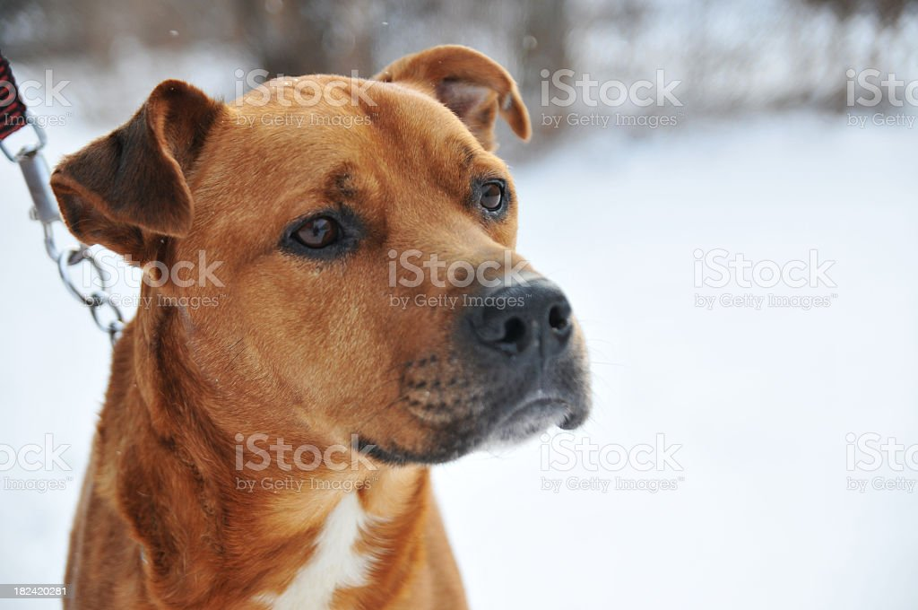 Dog outside in the snow stock photo