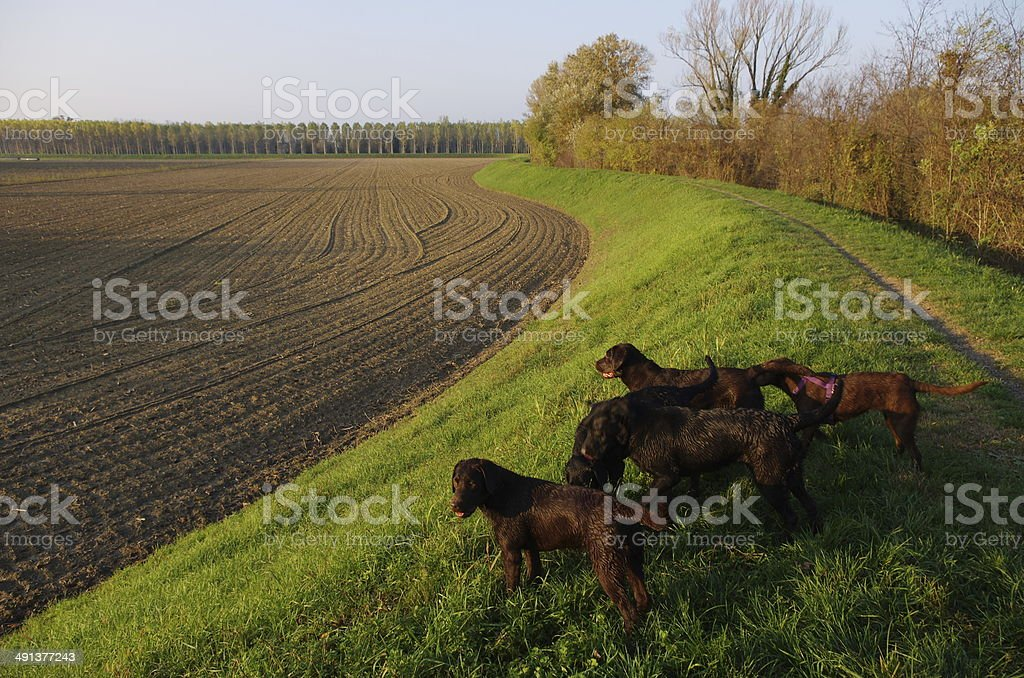 Dog pack in the country stock photo