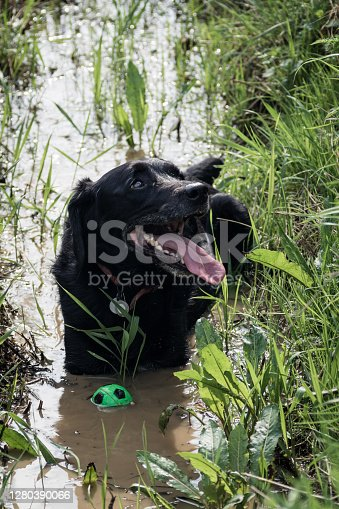 A dog looking pleased with himself lying down in a very muddy puddle with his ball floating next to him.