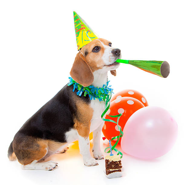 dog party animal dog party animal celebrating birthday or anniversary beagle stock pictures, royalty-free photos & images