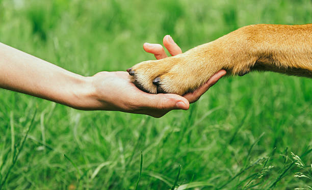 Dog paw and human hand are doing handshake Dog paw and human hand are doing handshake on nature, friendship animal hand stock pictures, royalty-free photos & images