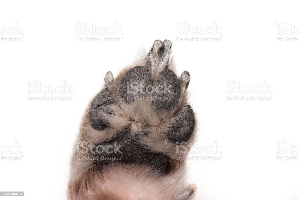 Fotografía de Perro De La Pata Hacia Abajo Jack Russell Terrier 7 ...