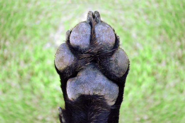 Dog Paw Foot Pad stock photo