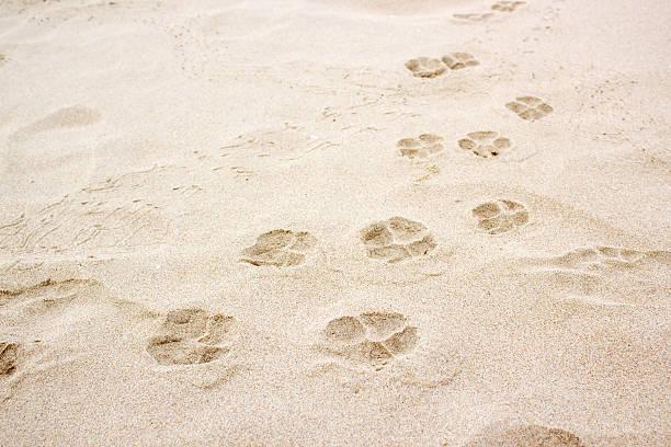 Dog paw footprint on sand picture id488911988?b=1&k=6&m=488911988&s=612x612&w=0&h=pwmaca0kpvldewftuaje5mzasmfgcpof0avqj4jmava=