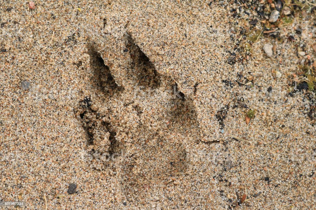 Dog Paw Print in the Beach Sand stock photo