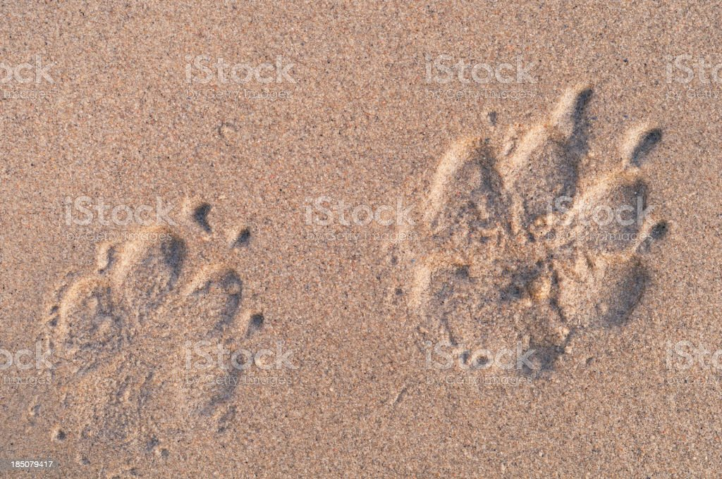 Dog paw print on the beach royalty-free stock photo