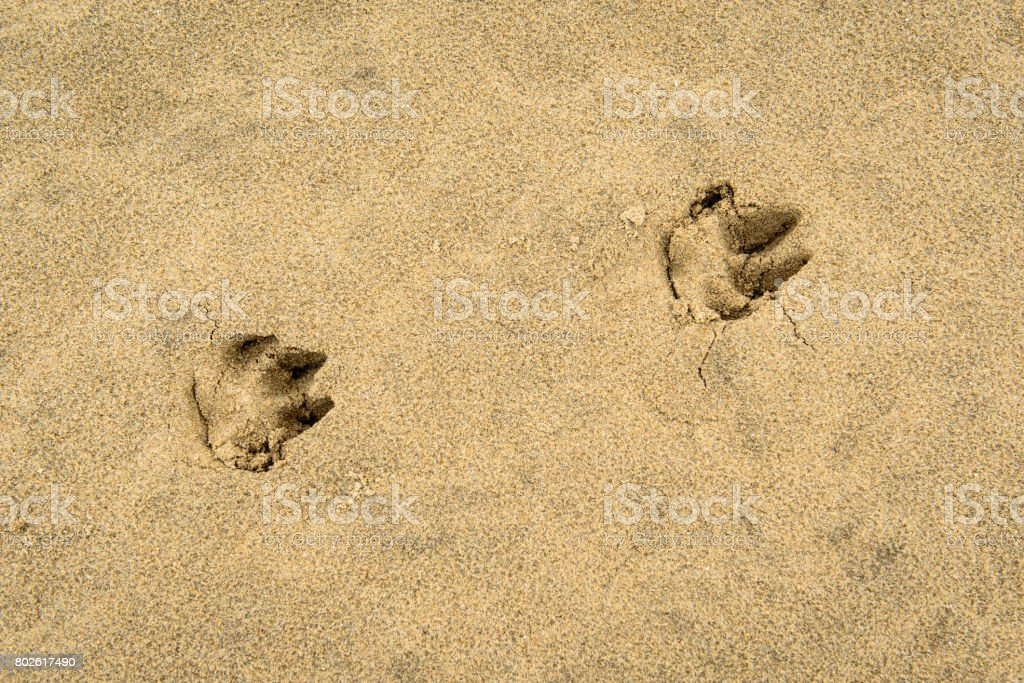 Dog paw prints in sand stock photo