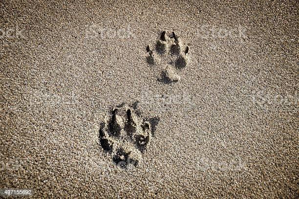 Dog paw prints in the sand on beach picture id497155692?b=1&k=6&m=497155692&s=612x612&h=02f8ssjhexaixev9qwa1gytqbzkkdaw73wt3qjlvi8s=