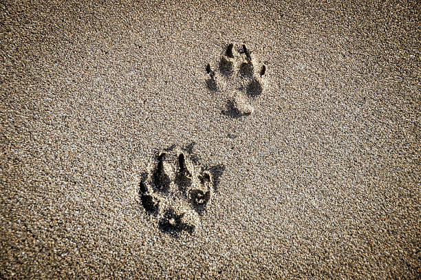 Dog paw prints in the sand on beach picture id497155692?b=1&k=6&m=497155692&s=612x612&w=0&h=nejhl254ftw1 xquhf98ymdstyxgm h6t6zyayl7gpm=