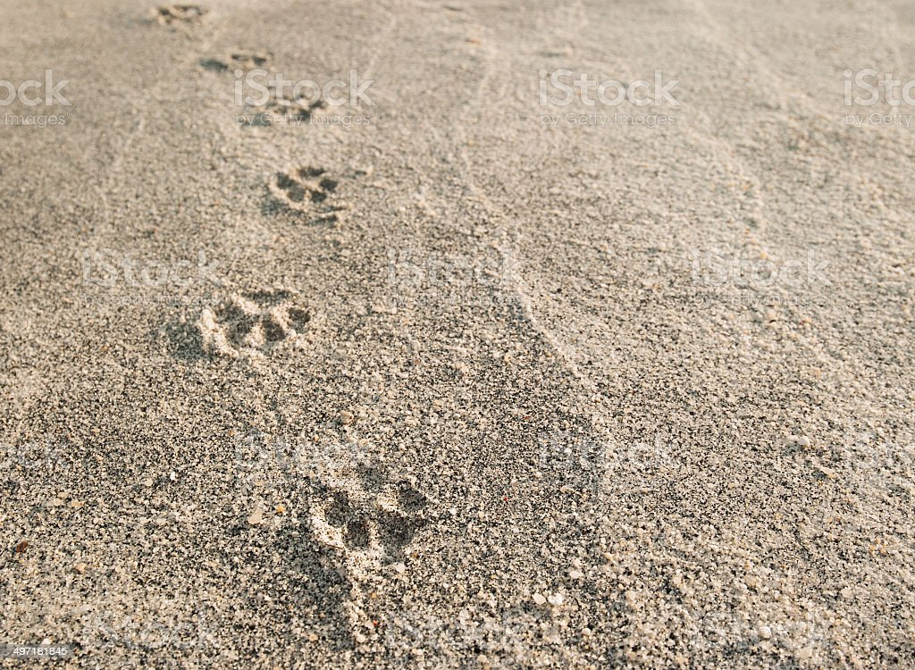 Dog paw prints in the sand. stock photo