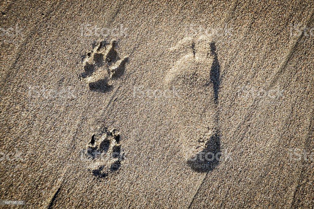 Dog paw prints next to human foot  on beach stock photo
