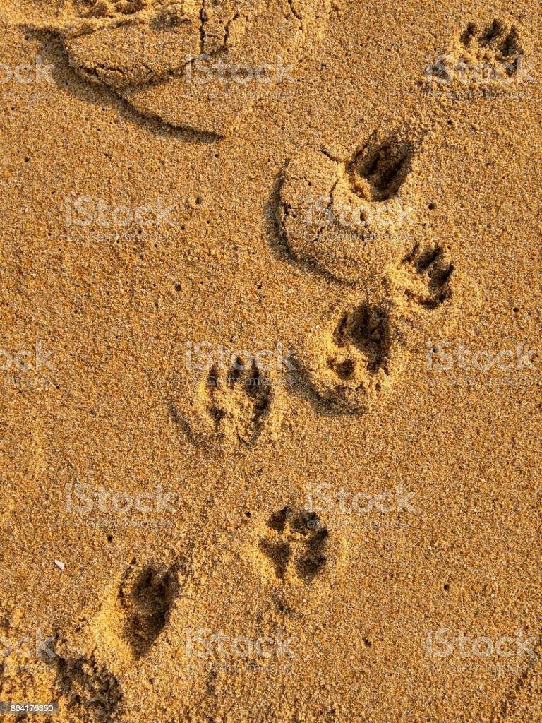 Dog paw prints on a beach royalty-free stock photo
