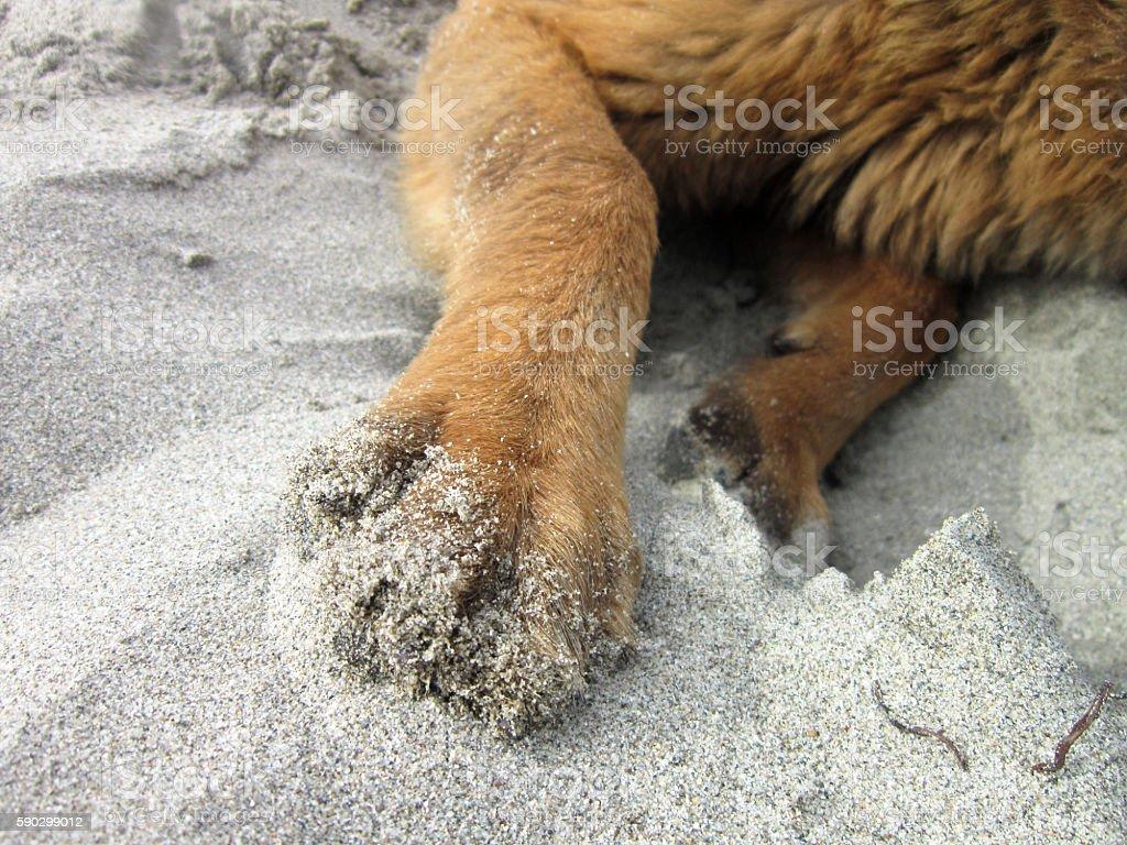 Dog Paws On The Sand royaltyfri bildbanksbilder