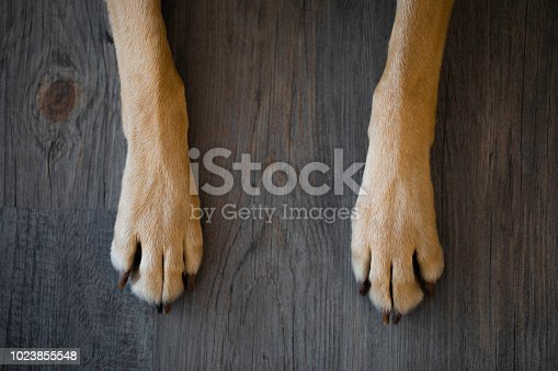 Yellow lab dog paws shot from directly above