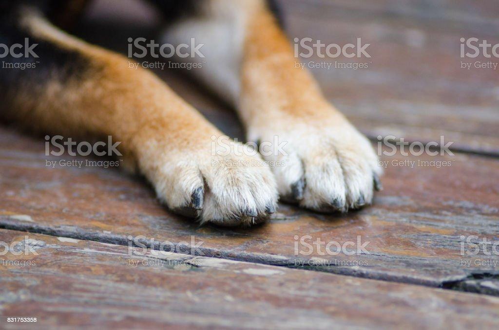 Perro paws - foto de stock