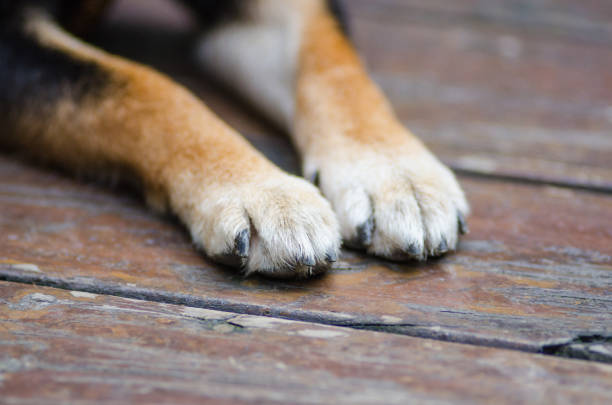 dog paws Dog, Paw, Animal Leg, Puppy, Scratching animal hand stock pictures, royalty-free photos & images