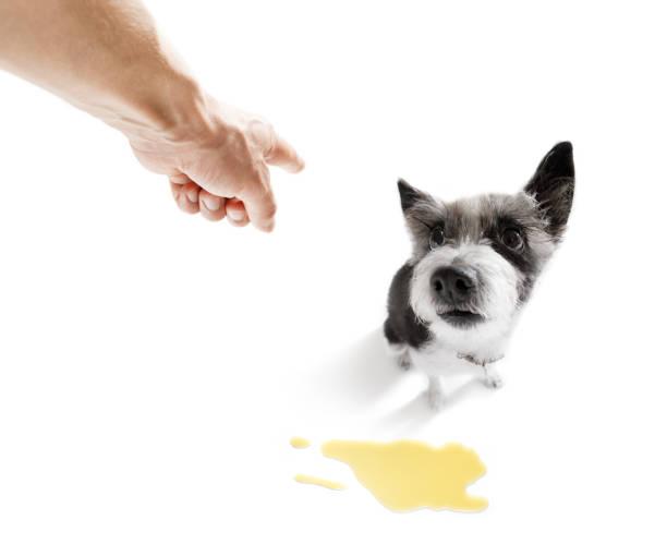 hundebesitzer pinkeln zu hause - durchfall beim hund stock-fotos und bilder