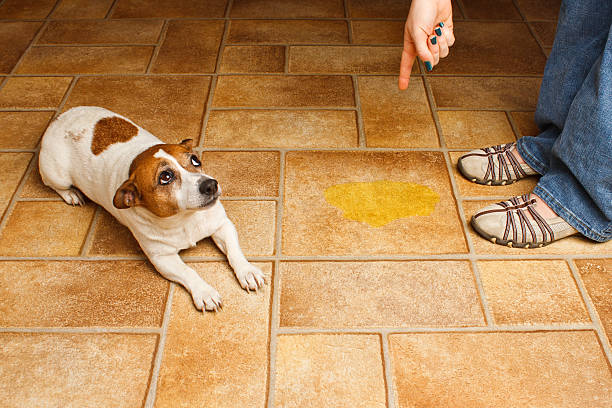 Dog Pee Scold Lay stock photo